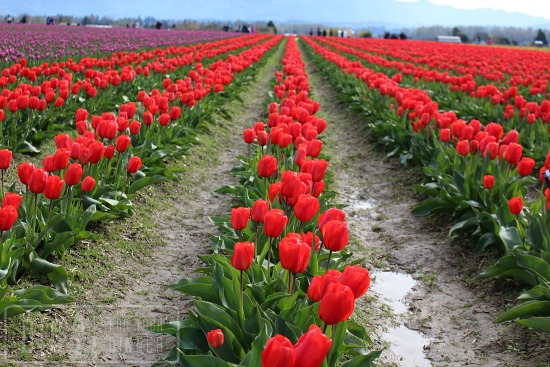 Skagit Valley Tulip Festival red tulips