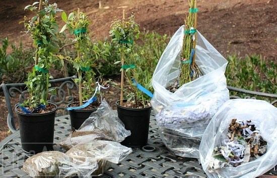 blueberry-bushes-raintree-nursery-