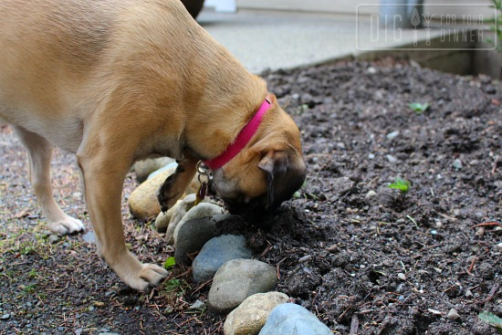 lucy puggle dog garden manager