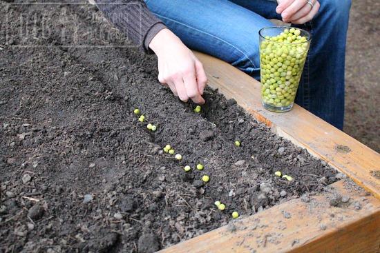 planting spring peas