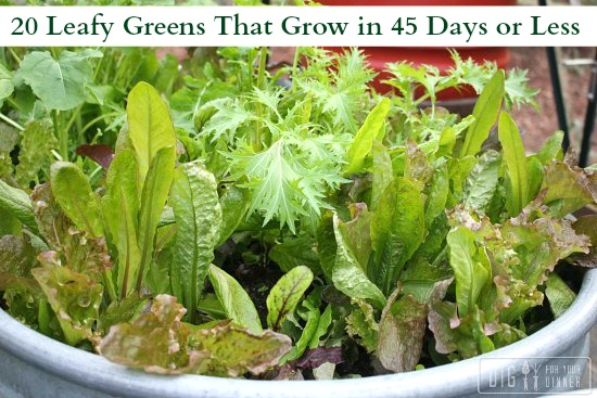 20 Leafy Greens That Grow in 45 Days or Less