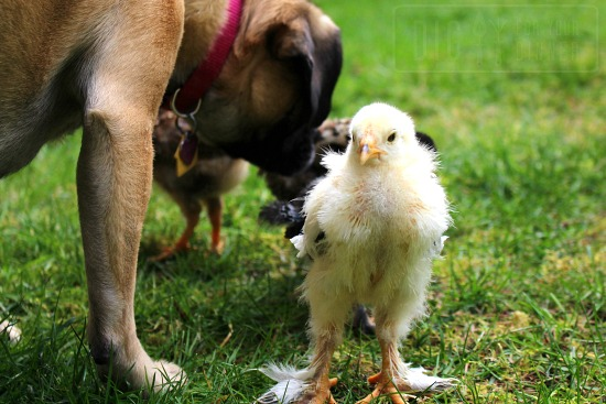 puggle dog baby chicks