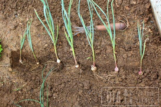 seperating garlic
