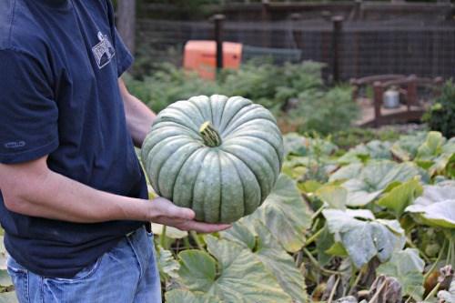 Jarrahdale-Pumpkin-