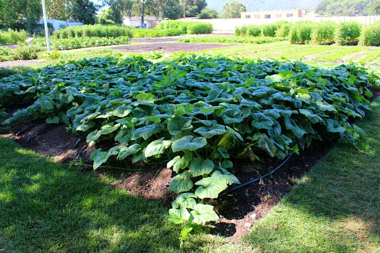pumpkin vines