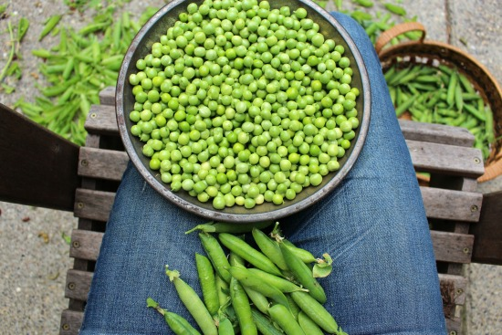 shelling peas in lap