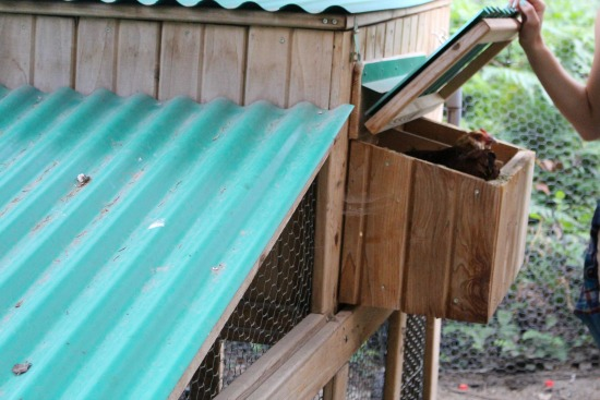 nesting box chicken