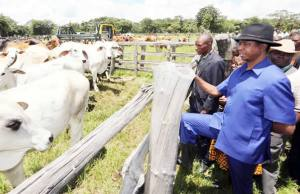 President Edgar Lungu tours Kawambwa Chinshinga Cattle ranch- picture by State House