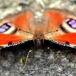 resting butterfly open wings