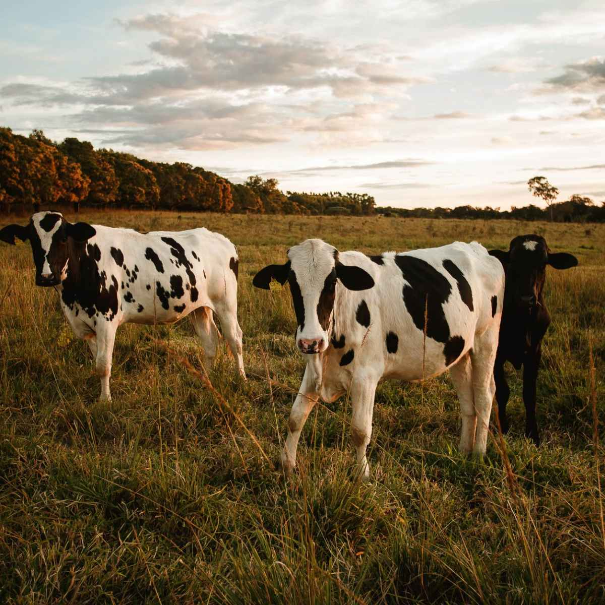 spotted cows on pasture in summertime