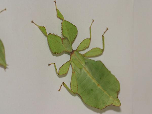 Risultati immagini per insetto stecco