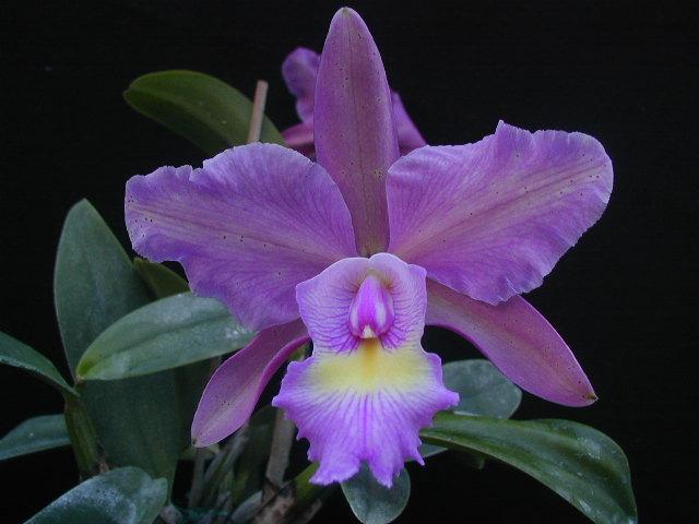 La semina delle orchidee  Forum Giardinaggio
