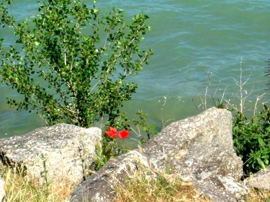 papaveri sul lago