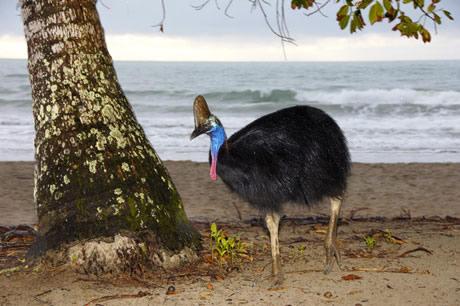 世界で一番危険な鳥「ヒクイドリ」
