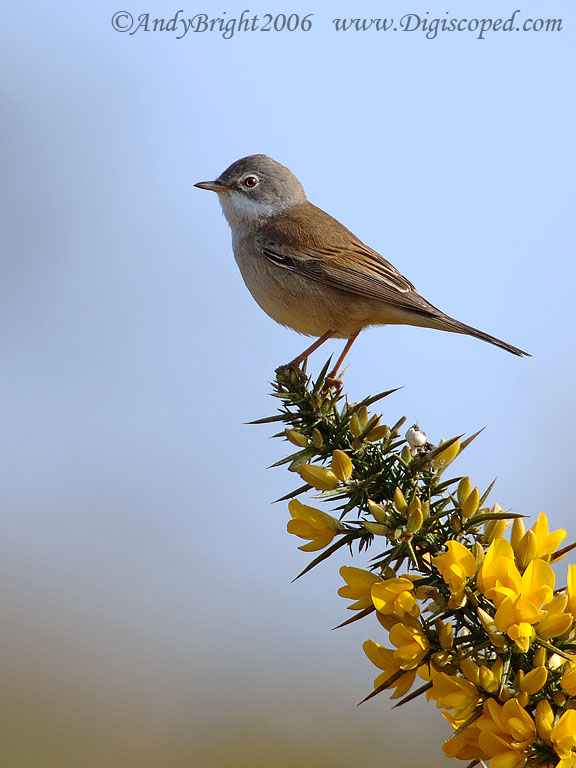 https://i0.wp.com/digiscopingukbirds.homestead.com/dslrgallery/whitethroatgorse.jpg