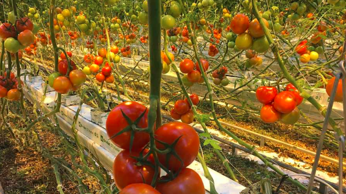 Greenhouse for growing tomatoes