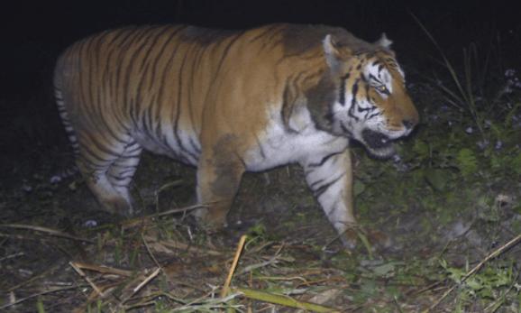 Tiger Found Dead In Kaziranga