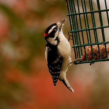 Backyard-Bird-Photography