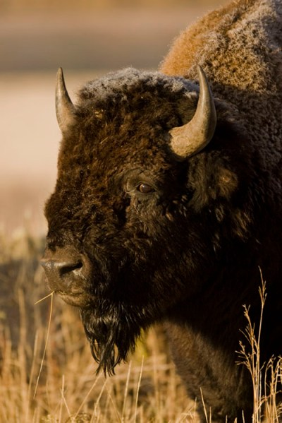 Wildlife Photography - Bison