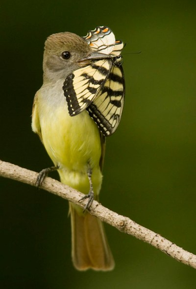 Wildlife Photography - Great Crested Flycatcher