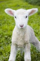 cute-lamb-small.jpg