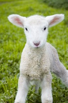 cute-lamb-small.jpg