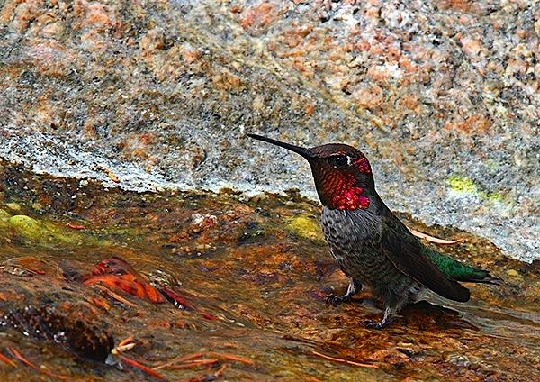 hummin-bird-photography-3.jpg
