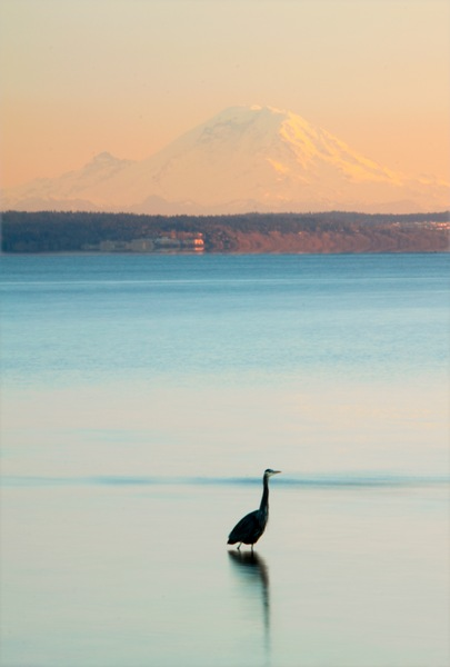 Heron And Mount Rainier