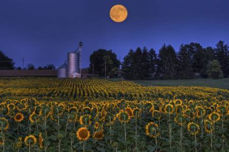 Sunflower Moon 1 by Jim Crotty
