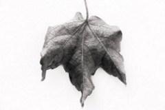 Autumn Leaf (by Jase_9)