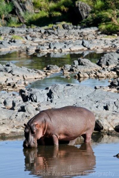 Hippo At His Pool, Tanzania