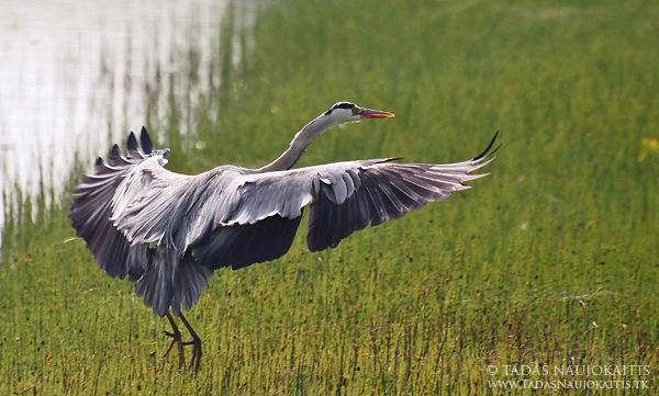 Image: Grey Heron is landing far enough where it feels safe, but with 400mm it's possible to capture...