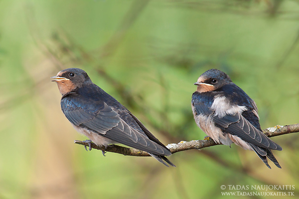 Image: When photographing these young Swallows I needed to set f/8 aperture to get both birds in foc...