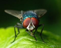 Hairy Maggot Blow Flies (Chrysomya)_02