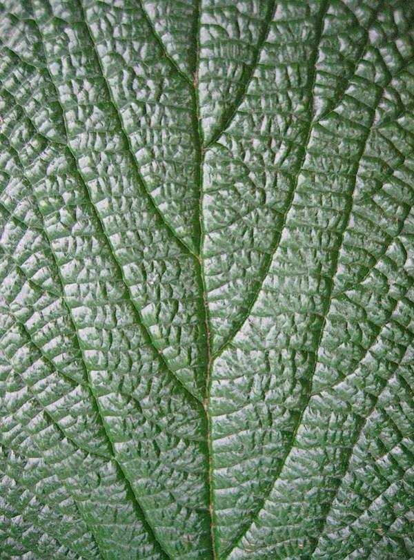 Claire Woollam Leaf.JPG