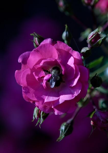 Bee_in_Flower.jpg
