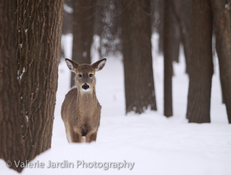Image: Deer always look so beautiful in the snow. They are almost impossible to spot in the woods an...