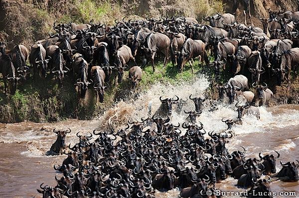 wildebeest_mayhem.jpg
