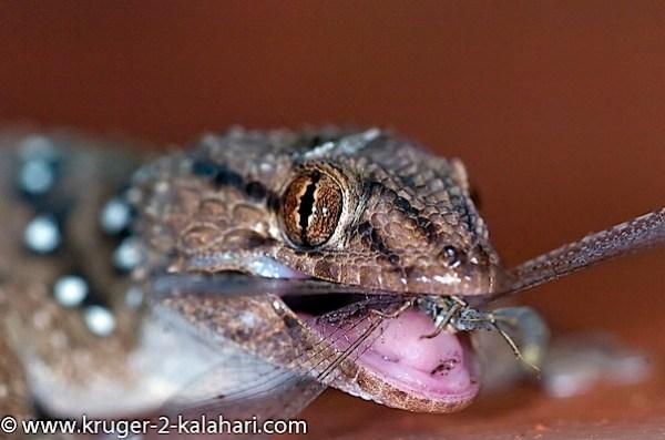 Kgalagadi-Gecko-Kill-KielieKrankieCamp.jpg