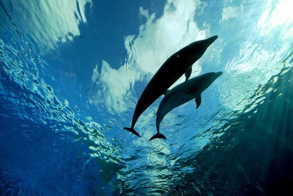 Image: Deep Blue Dolphin Love - Copyright LaPrimaDonna