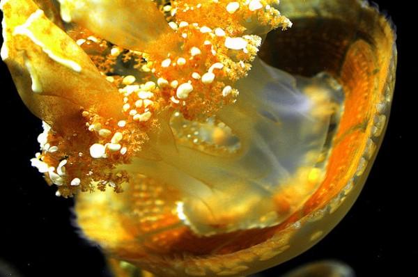 Image: Cream Jellyfish - Copyright Chris Willis