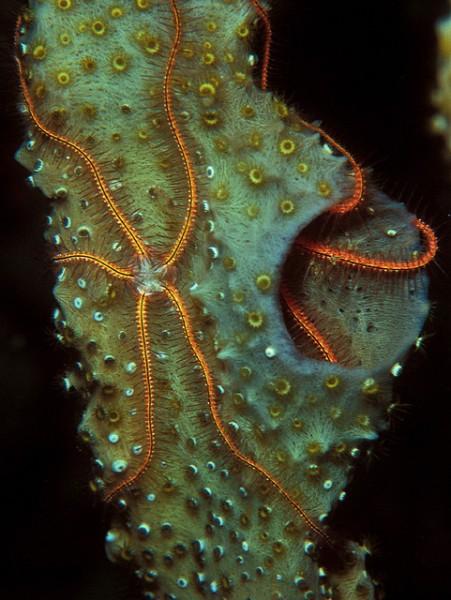 Image: Sponge Brittle Stars - Copyright LASZLO ILYES