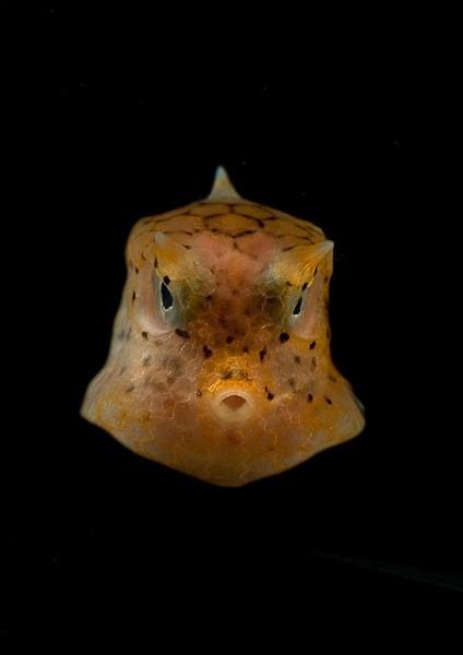 Image: Juvenile Boxfish - Copyright NOAA Ocean Explorer