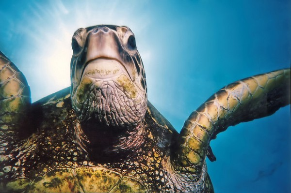 Image: Tripod the green sea turtle - Copyright Roy Niswanger