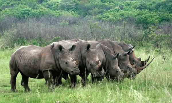Rhino line (Ferguson)