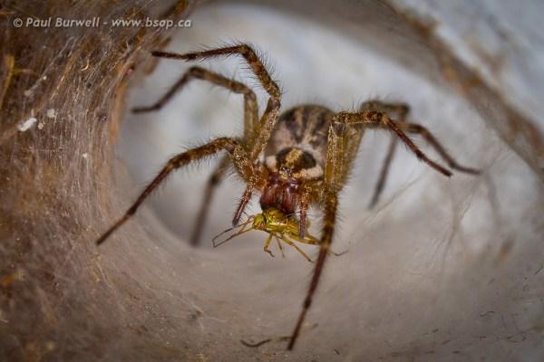 Image: Funnel Web spider with grasshopper prey :: Canon 5D Mark II, Canon 180mm F3.5L Macro Lens @ 1...