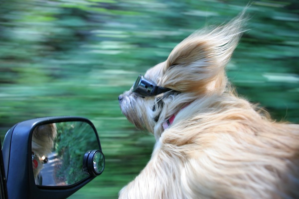Shots Of Dogs Sticking Their Heads Out Of Car Windows Humor -  car window