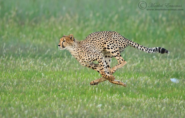 running cheetah wildlife photography example