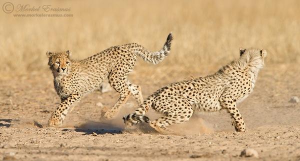 Cheetahs_Playing.jpg