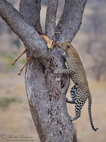 Leopard_Ascent.jpg